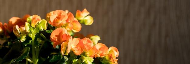 Leuchtend orange begonienblüte viele orangefarbene begonienblüten mehrjährige blütenpflanzen in der familie begoniaceae lebendiger blumenhintergrund bei direkter sonneneinstrahlung sonniger sommertag