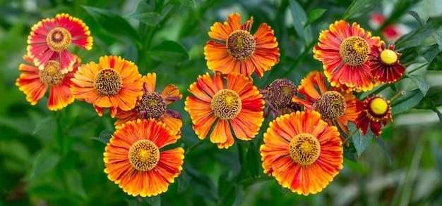 Leuchtend orange blüht helenium im garten auf dem blumenbeet