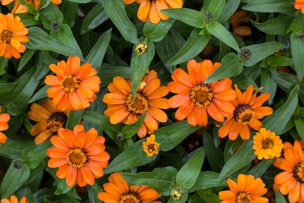 Leuchtend orange blumen auf hintergrund der grünen blätter nahaufnahme auf sommerblumenbeet