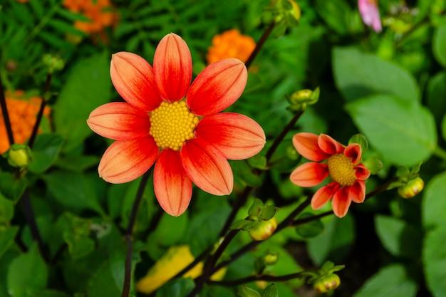 Leuchtend orange dahlienblüten. dahlienpflanze in voller blüte. knospen einer dahlienpflanze.