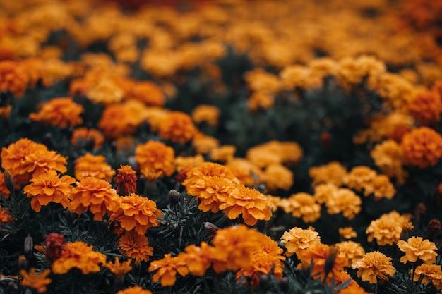 Leuchtend orange herbstblumen wachsen im garten. natürlicher und organischer blumenhintergrund.