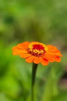 Leuchtend orangefarbene zinnia-blumengarten- und blumenzucht