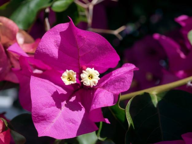 Leuchtend rosa bougainvillea, die in marbella blüht