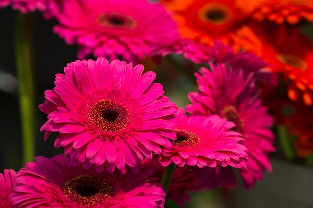 Leuchtend rosa margeriten hautnah
