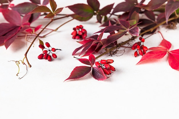 Leuchtend rote blätter der wildrebe parthenocissus, victoria creeperblätter. schöner herbst.
