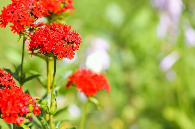 Leuchtend rote blüten von lychnis chalcedonica. malteserkreuzpflanze im sommergarten.