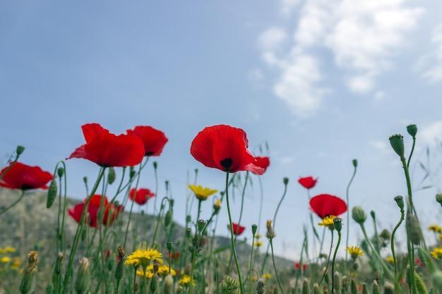 Leuchtend rote mohnblumen auf der frühlingswiese. frühlingsblumenhintergrund. selektiver fokus.