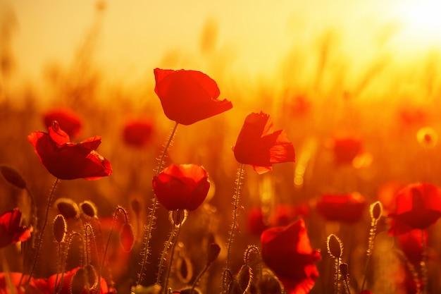 Leuchtend rote mohnblumen in einem feld bei sonnenuntergang.