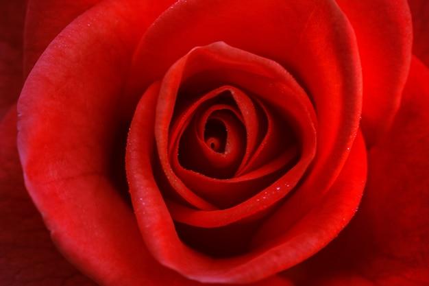 Leuchtend rote rose zum valentinstag