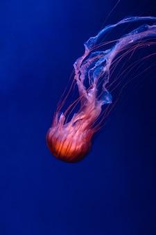Leuchtende orange quallen chryssaora pacifica auf tiefem phantomblau