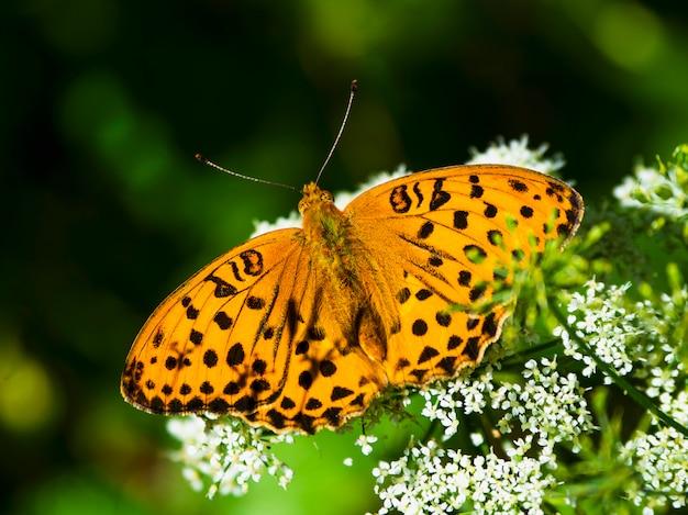 Leuchtender orangefarbener großer perlmuttschmetterling, der auf einer weißen blume gegen verschwommenes grünes gras sitzt