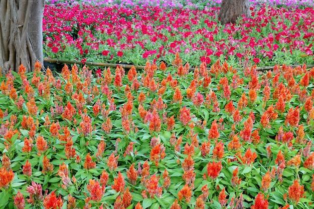 Leuchtendes orange gefiedertes hahnenkamm-blumenfeld mit pinkfarbenem petunien-blumenfeld im hintergrund