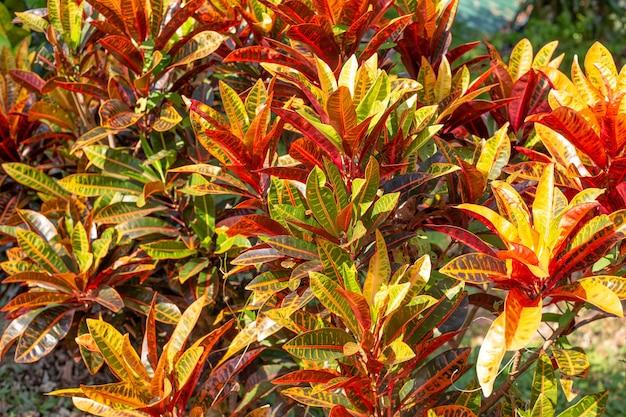 Leuchtendes orange mit grüner croton-blume in den tropen in der sonne
