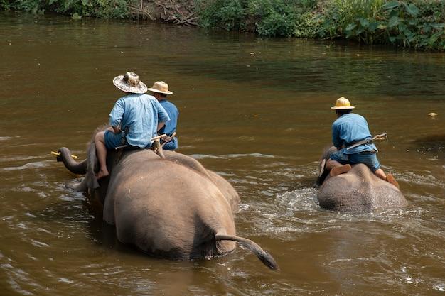 Leute baden elefanten in einem fluss, thailändische elefanten, die ein bad mit mahout nehmen.