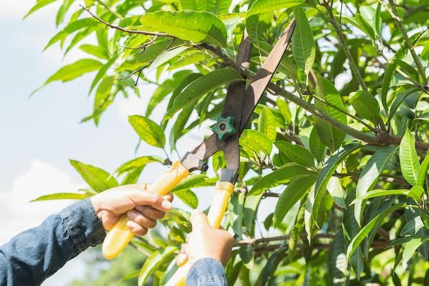 Leute, die mangobaum mit beschneidungscheren im garten schneiden