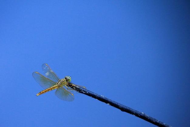 Libelle auf blau