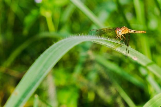 Libelle auf dem garten des grases morgens