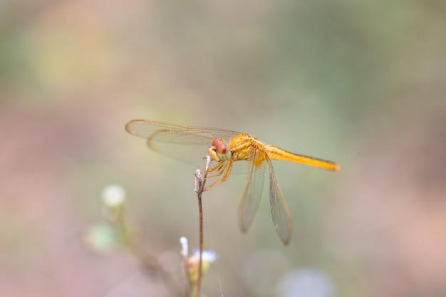 Libelle auf der grasblume im naturhintergrund.