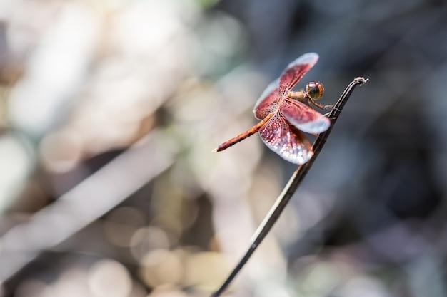 Libelle auf der niederlassung