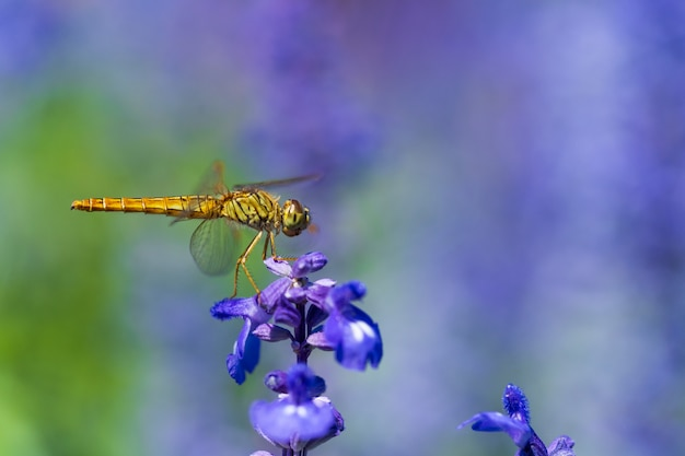 Libelle auf lavendelblume