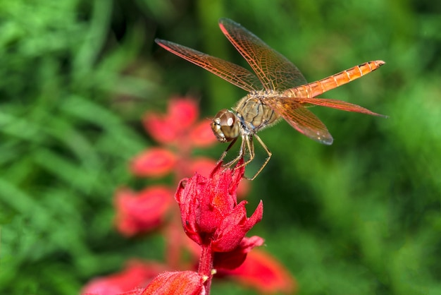 Libelle auf roter blumennahaufnahme