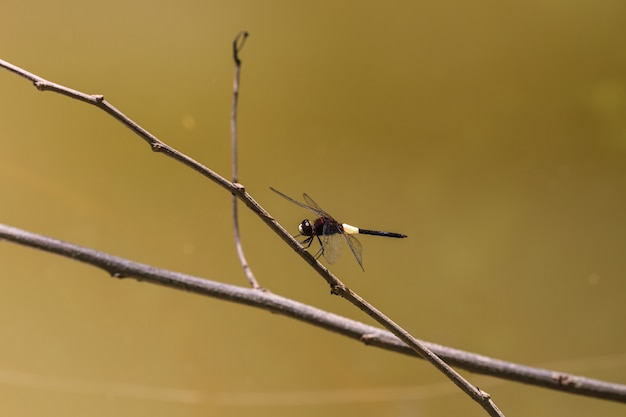Libelle auf zweig