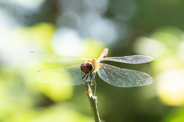 Libelle, die auf einem trockenen stock sitzt, wild lebende tiere. eine dünne blaue libelle sitzt auf einem schmalen grasblatt. unscharf.