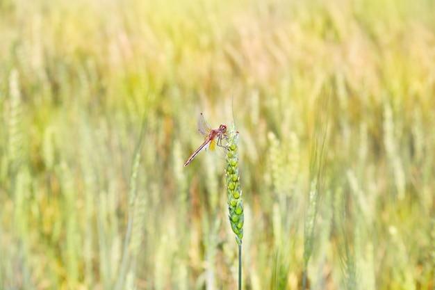 Libelle, die auf einer weizenähre sitzt. libelle nah oben auf einem hintergrund des unscharfen weizenfeldes.