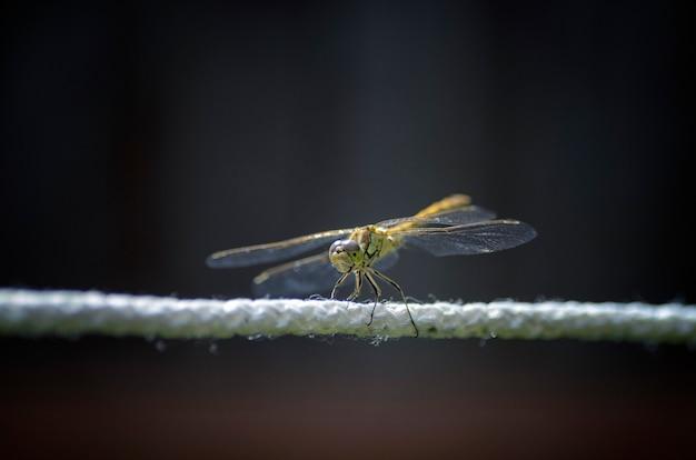 Libelle, die eine fliege isst