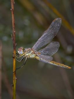 Libelle fotografiert in ihrer natürlichen umgebung.