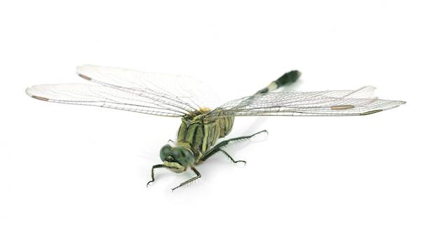 Libelle lokalisiert auf weißem hintergrund