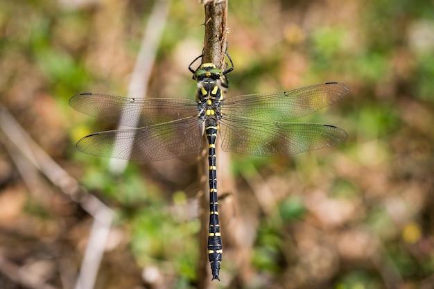 Libelle mit goldenem ring, cordulegaster boltonii, sitzt auf einem ast