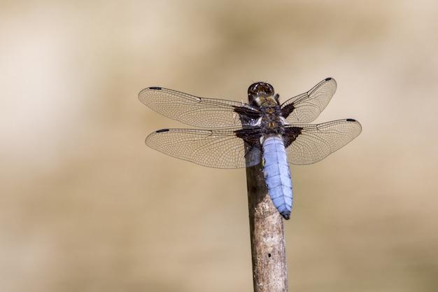 Libelle mit transparenten flügeln, die auf stock sitzen