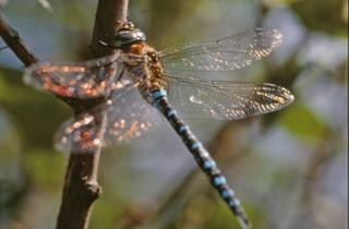 Libelle, nahaufnahme, insekten, libellen