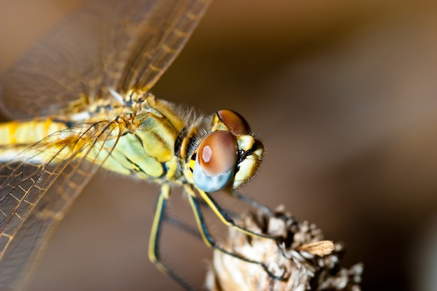 Libelle (sympetrum sp)