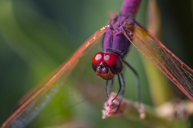 Libelle thront auf braunem stiel