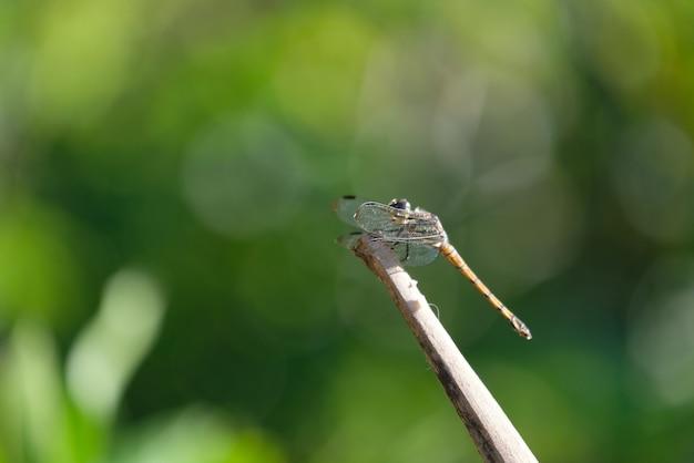 Libelle thront auf zweig mit bokeh-hintergrund