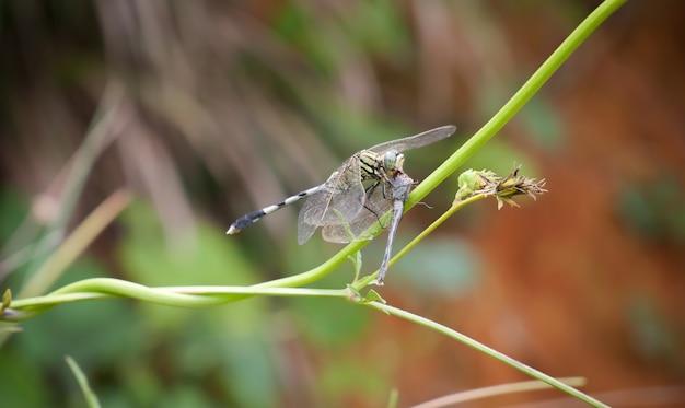 Libellen fressen sich gegenseitig