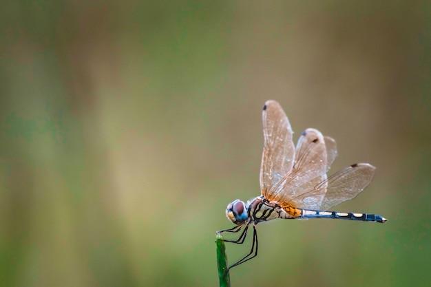 Libellengriff auf trockenen niederlassungen und kopienraum. libelle in der natur. libelle im naturlebensraum. schöne naturszene mit der libelle im freien