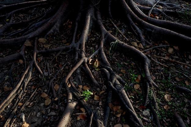 Licht und schatten des banyanbaums wurzeln auf dem waldboden für naturhintergrund