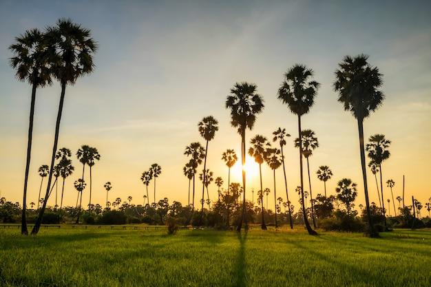 Lichtschatten des sonnenuntergangs durch zuckerpalmen zum reisfeld in pathum thani, thailand. landwirtschaftsindustrie im warmen tropischen land. schöne natürliche reiselandschaft.