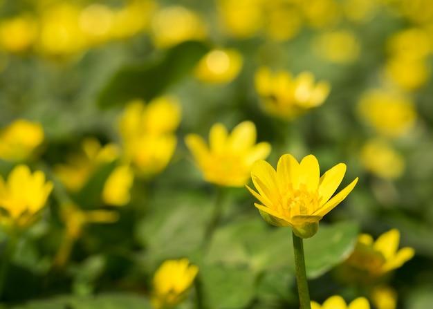 Lichtung der gelben wilden blumen im frühling. weicher fokus