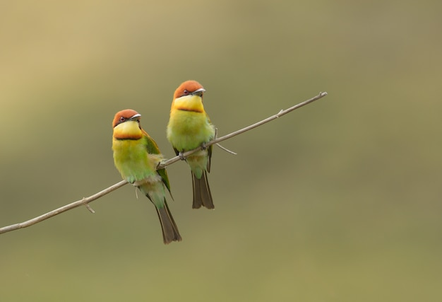 Liebespaar vogel, kastanienköpfiger bienenfresser (merops leschenaulti)