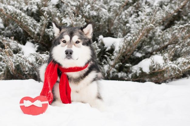 Liegender alaskischer malamute im roten schal mit herzgeschenkbox. valentinstag. hund. hochwertiges foto