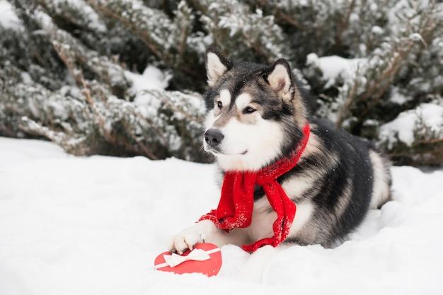 Liegender alaskischer malamute im roten schal mit herzgeschenkbox. valentinstag. hund