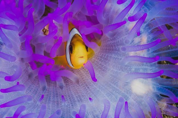Lila anemone fisch nemo familie.