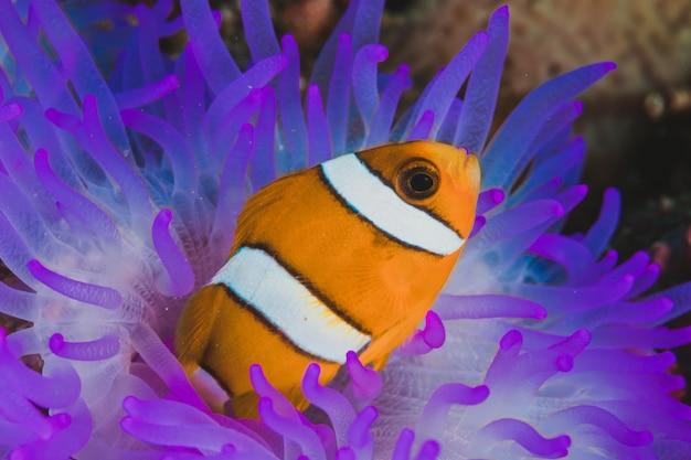 Lila anemone fisch nemo