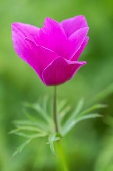 Lila anemonenblume und laub über hellem hintergrund.
