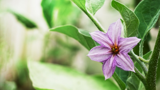 Lila blühende auberginenblume