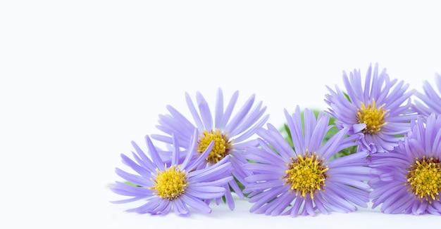 Lila blüten der chrysantheme auf hellem hintergrund